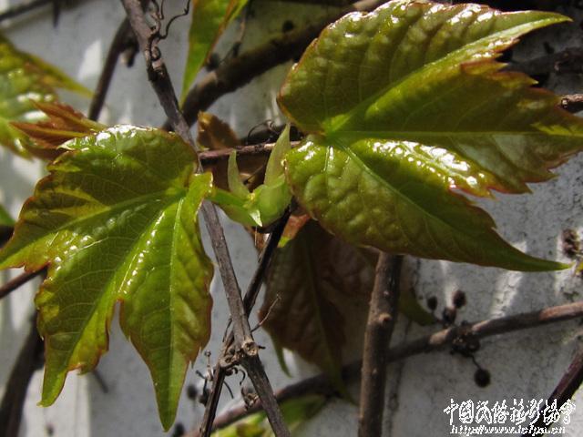 爬山虎简笔画; 独步舞麟的相册 - 爬山虎的叶子;