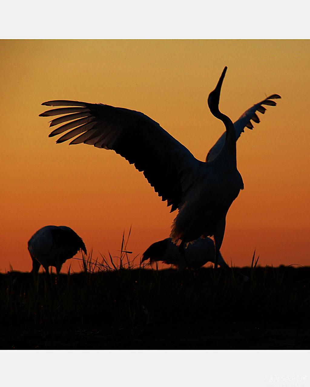 丹顶鹤剪影【6】 - 丹顶鹤的风采【1】